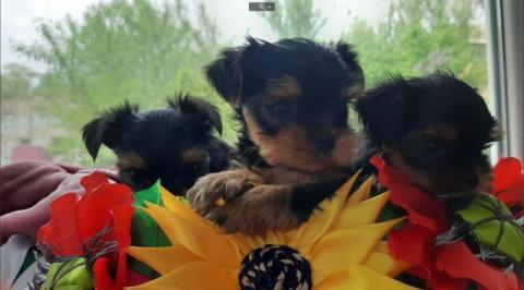 Продажа чистокровных щенков Йорка.(Йоркширский терьер)
