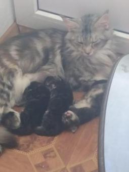 Продам котят породы Мейн-кун